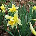 Narcissus pseudonarcissus var. 'Gerardes Double English Daffodil', Mark Brown