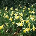 Narcissus pseudonarcissus, Mark Brown