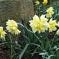 Narcissus pseudonarcissus var. 'M. W. Brown', Mark Brown