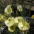 Narcissus romieuxii ssp. albidus var. zaianicus, Mary Sue Ittner