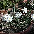 Narcissus rupicola ssp. watieri, Jane McGary