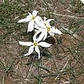 Narcissus serotinus, Angelo Porcelli