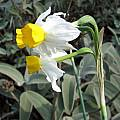 Narcissus tazetta, Nhu Nguyen