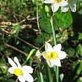 Narcissus tazetta, Jane McGary