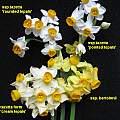 Narcissus tazetta wild forms, Angelo Porcelli