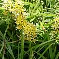 Narthecium asiaticum, Mari Kitama