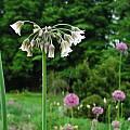 Allium siculum ssp. disoscoridis, Mark McDonough