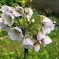 Allium siculum ssp. disoscoridis, Alessandro Marinello