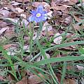 Nemastylis geminiflora, Lee Poulsen