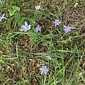 Nemastylis geminiflora, Steve or Tracy Kriese