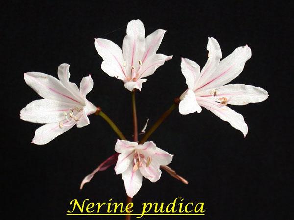"""NERINE UNDULATA IN A 4/"""" POT PINK FLOWERS WHEN IN BLOOM"""