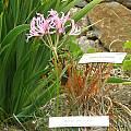 Nerine undulata, UC Botanical Garden