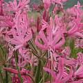 Nerine angustifolia, Cameron McMaster