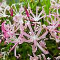Nerine appendiculata, Tom Mitchell [Shift+click to enlarge, Click to go to wiki entry]