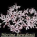 Nerine bowdenii, Bill Dijk