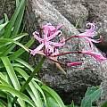 Nerine bowdenii, Sentinel Peak, Cameron McMaster