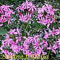 Nerine filifolia, Bill Dijk