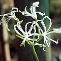 Nerine filifolia, white, Cameron McMaster