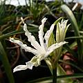 Nerine flexuosa, now considered N. humilis, Alessandro Marinello