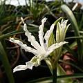 Nerine undulata, was Nerine flexuosa, Alessandro Marinello
