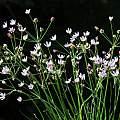 Nerine gracilis, Bert Zaalberg