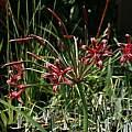 Nerine laticoma ssp. huttoniae, Nhu Nguyen