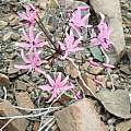 Nerine marincowitziii, nkivanrensburg, iNaturalist, CC BY-NC [Shift+click to enlarge, Click to go to wiki entry]