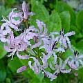 Nerine masoniorum, Lyn Edwards