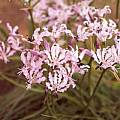 Nerine masoniorum, Cameron McMaster [Shift+click to enlarge, Click to go to wiki entry]
