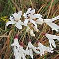 Nerine pancratioides, berthapi2, iNaturalist,CC BY-NC