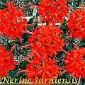 Nerine sarniensis, Bill Dijk