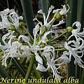 Nerine undulata alba, Bill Dijk