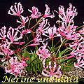 Nerine undulata, Bill Dijk