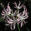 Nerine humilis × Nerine undulata, Mary Sue Ittner