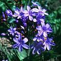 Nivenia binata, Seweweekspoort, Andrew Harvie