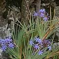 Nivenia corymbosa, Rod Saunders