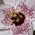 Nomocharis hybrid 26th May 2014, David Pilling