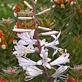 Notholirion thomsonianum, Ian Bell