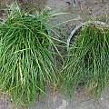 Nothoscordum species leaves compared, Lee Poulsen
