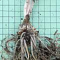 Nothoscordum gracile roots, Mary Sue Ittner