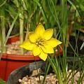 Nothoscordum hirtellum, Germán Roitman