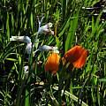 Ornithogalum dubium and Lachenalia unifolia, Mary Sue Ittner