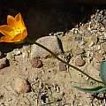 Ornithogalum maculatum, Biekoes, Cameron McMaster