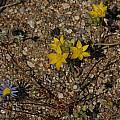 Ornithogalum multifolium, Bob Rutemoeller