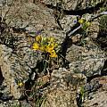 Ornithogalum multifolium, Mary Sue Ittner