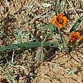 Ornithoglossum sp., Namaqualand, Mary Sue Ittner