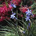Orthrosanthus chimboracensis, Mary Sue Ittner