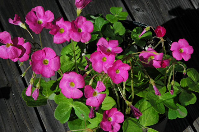 Pacific Bulb Society South African Oxalis