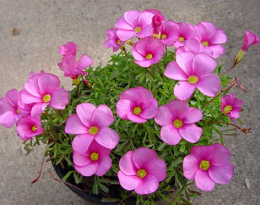Pacific Bulb Society : South African Oxalis Four