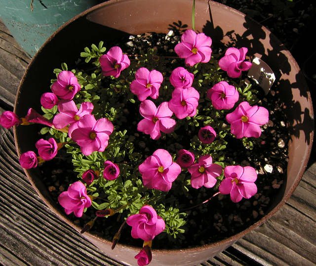 Pacific Bulb Society South African Oxalis Four